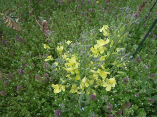 ブロッコリー(ドシコ)の花