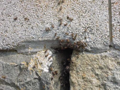 日本蜜蜂が分蜂しそう