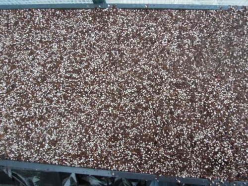 丹波の黒豆を蒔く(H25)