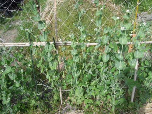 スナックエンドウの収穫H25