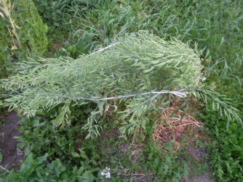 チンゲン菜の種取り