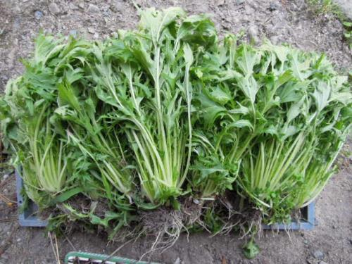 晩生千筋京水菜の収穫H25