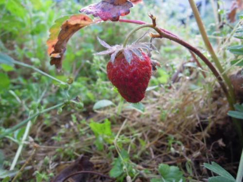 赤い苺の実