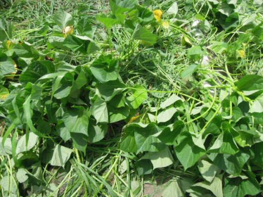 安納芋の成長0708