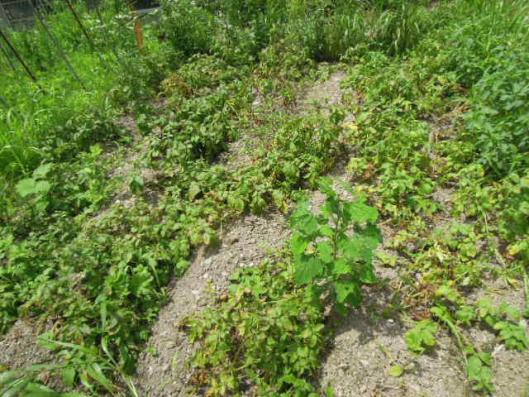インカのめざめ 栽培量