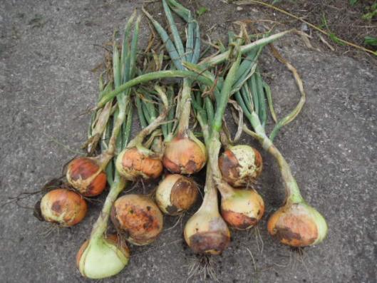 仙台黄玉葱の収穫