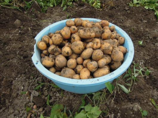 インカのめざめ収穫H25