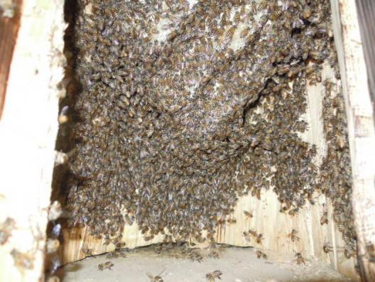日本蜜蜂の状況0721