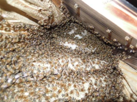 日本蜜蜂の巣の状態250716