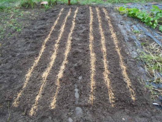 人参の種蒔き H2507