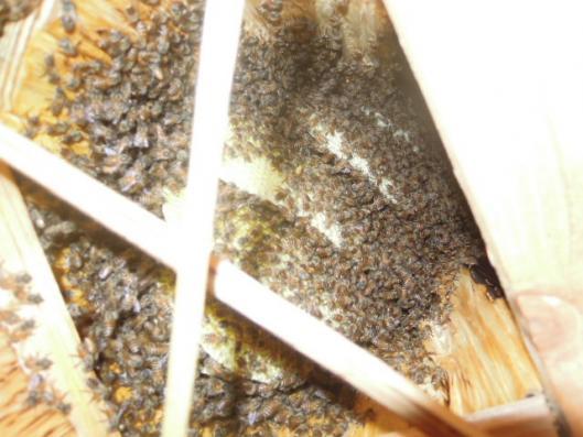 日本蜜蜂の成長2 H250809