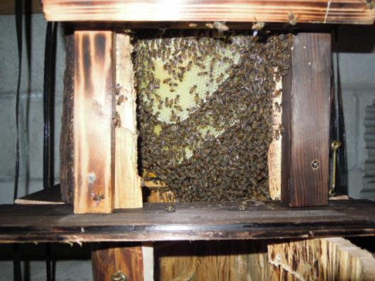 日本蜜蜂の成長H250809
