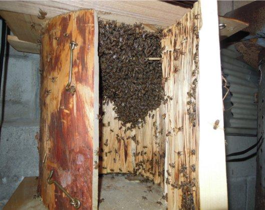 日本蜜蜂の強群?H2508
