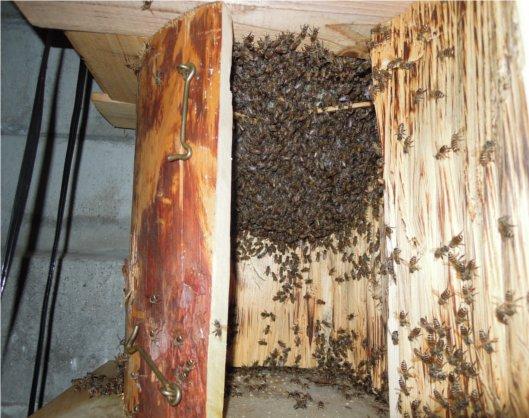 日本蜜蜂の成長 250825