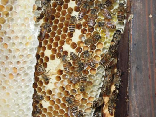 日本蜜蜂の巣 拡大