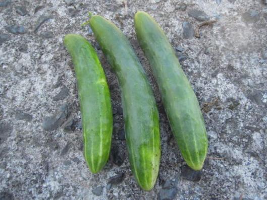 霜知らず地這胡瓜の収穫 H25