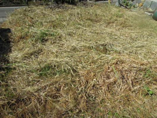 たまねぎ畑 H25