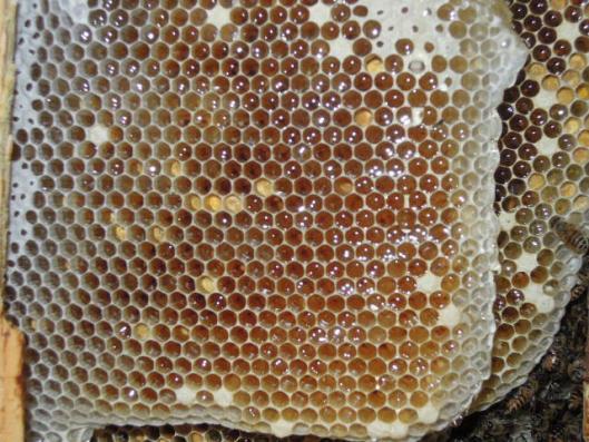 日本蜜蜂 巣の中の蜜状況h25