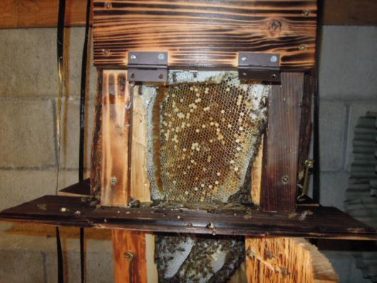 日本蜜蜂 採蜜 h25923