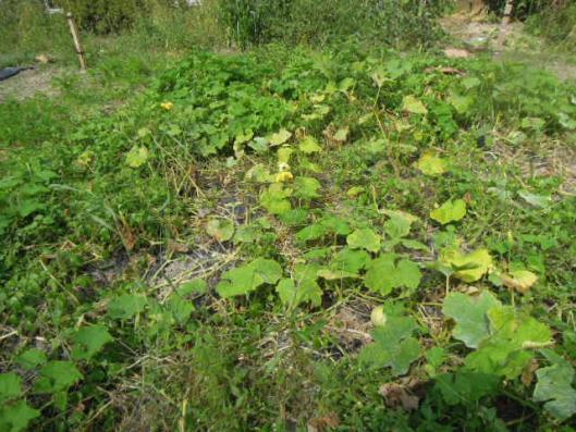 かぼちゃ畑 h2509
