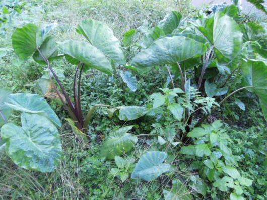 里芋の成長 唐の芋 251010