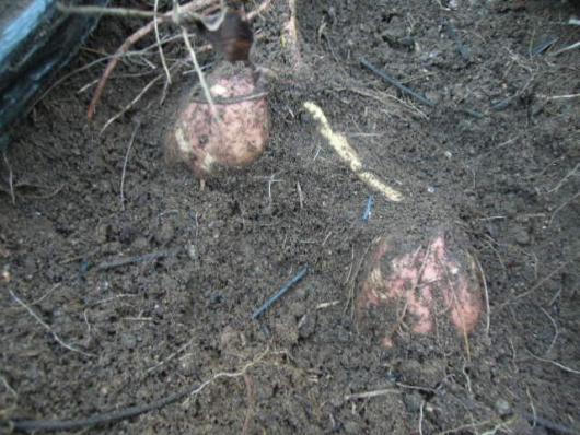 安納芋の試し掘り 2510