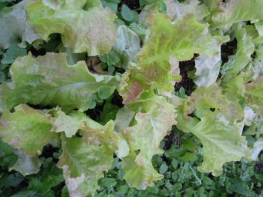 ちしゃの栽培 251013