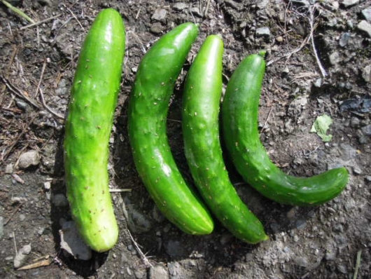 霜知らず地這胡瓜の収穫10月 251021