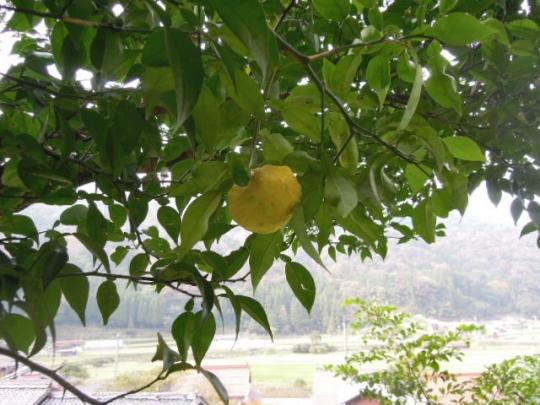 柚子の収穫 H2511