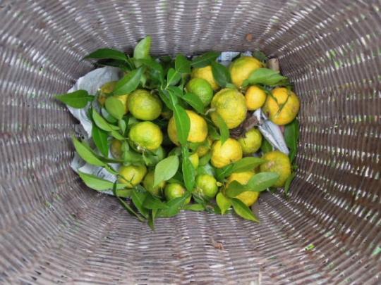 無農薬有機栽培 柚子 収穫