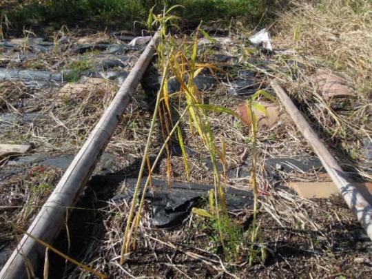 生姜の収穫 2511