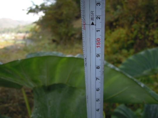桜海老芋の成長 高さ