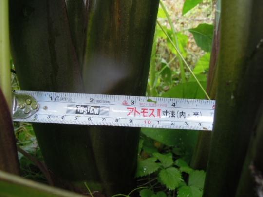 桜海老芋の茎の太さ