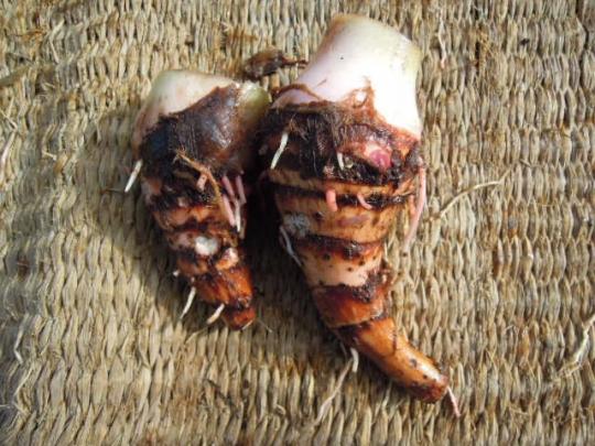 桜海老芋の収穫 2511
