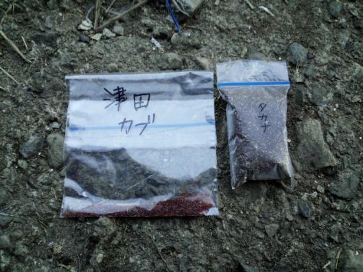 昨年の津田カブの採種