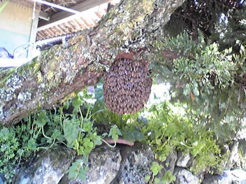 日本蜜蜂の蜂球H25.4.22