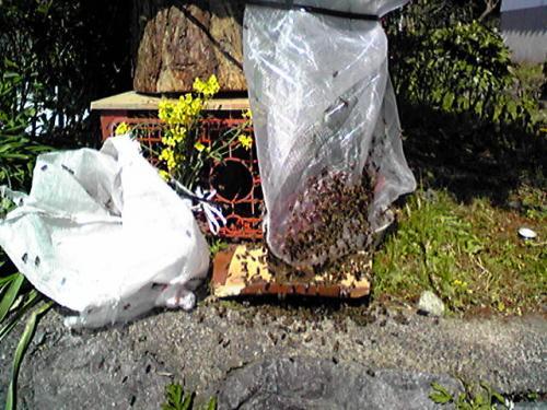 日本蜜蜂をキンリョウヘンの前に