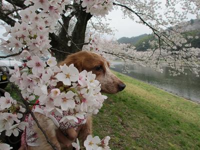 桜と笑花2013