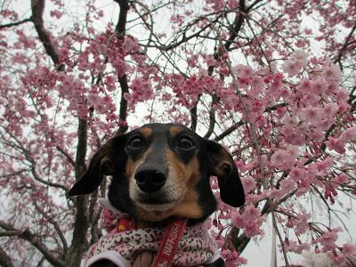 枝垂れ桜と姫2013