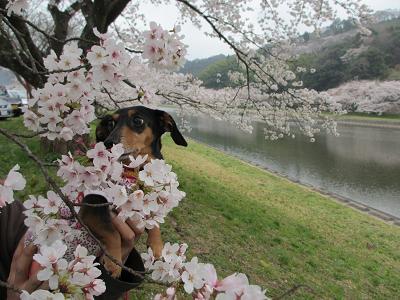桜と姫2013