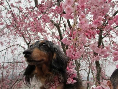 枝垂れ桜と実結2013