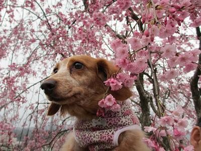 枝垂れ桜と笑花2013