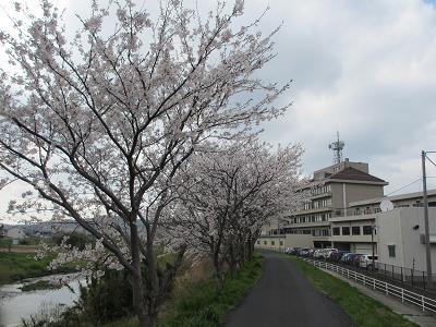 少ないけど桜並木