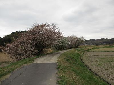 お散歩道の山桜