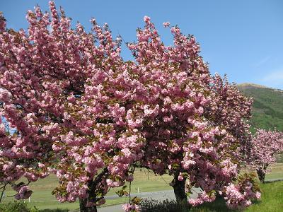 お山の八重桜