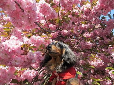八重桜と実結2013
