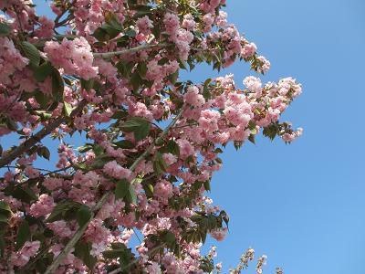 世羅の八重桜