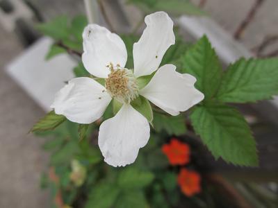 ボイセンベリーの花
