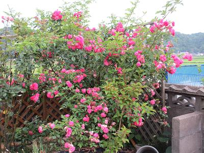 ツル薔薇さん2