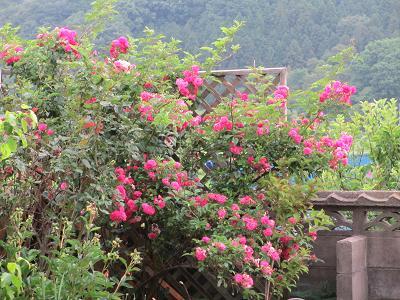 ツル薔薇さん